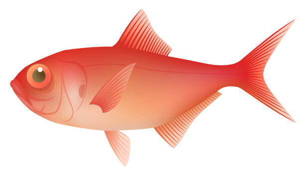 fresh alfonsin, isolated on the white background. - redfish stock illustrations, clip art, cartoons, & icons