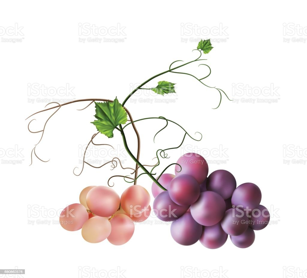 Fresh bunch of grapes. Manufacturer of fresh juices and wine vector art illustration