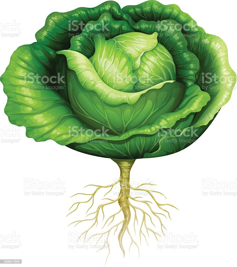 Fresh cabbage with roots vector art illustration