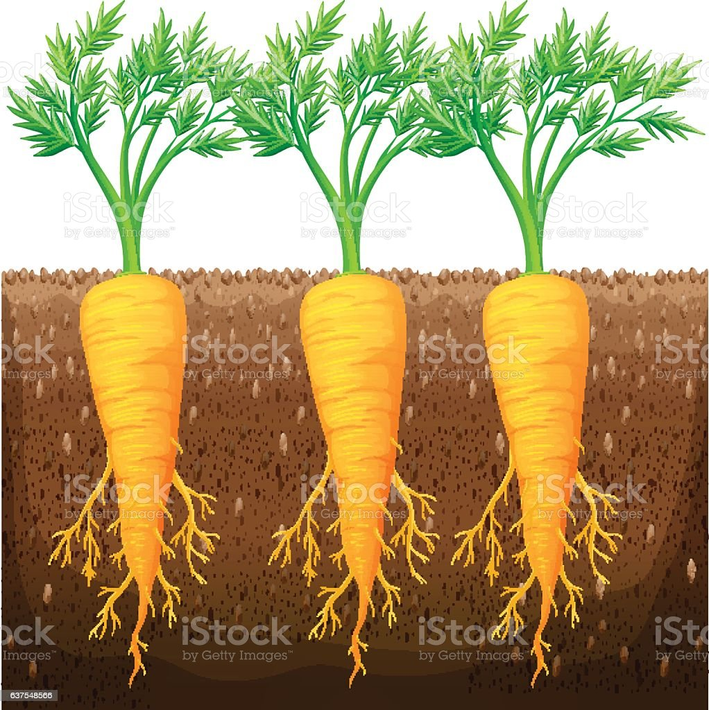 Fresh carrot growing in the field vector art illustration
