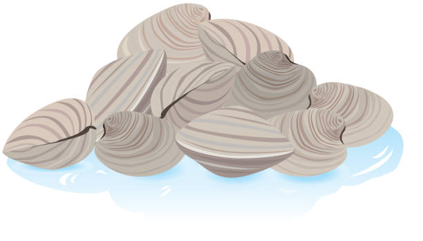 Fresh Clams in the shell vector art illustration