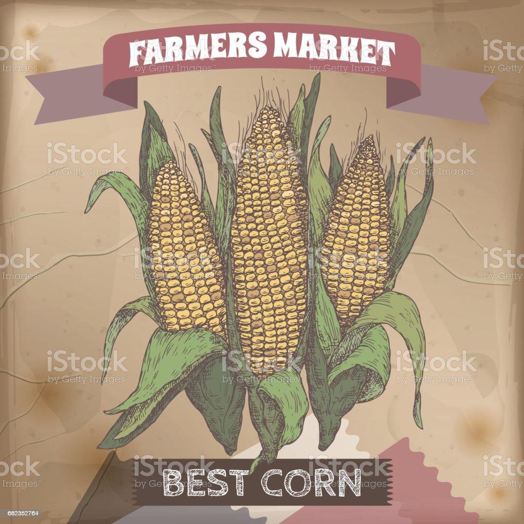 Fresh corn cobs hand drawn color sketch. vector art illustration