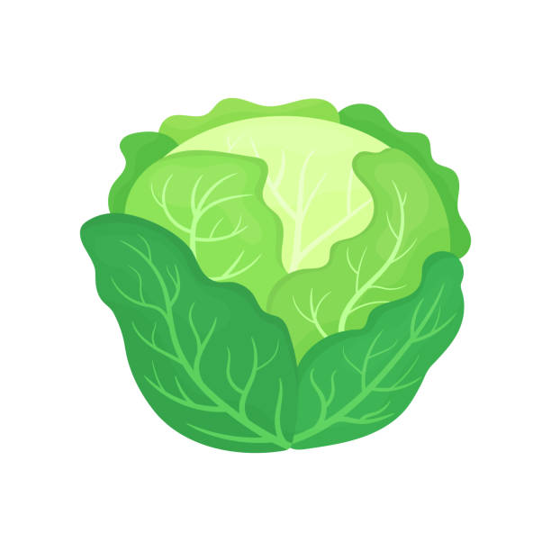 Fresh green cabbage isolated on white background. Organic food. Cartoon style. Vector illustration for design. Fresh green cabbage isolated on white background. Organic food. Cartoon style. Vector illustration for design. cabbage stock illustrations