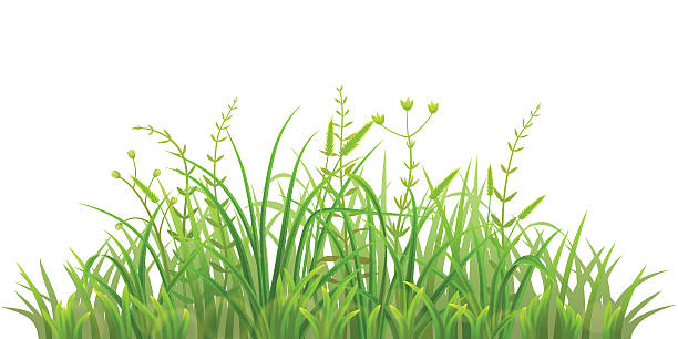 Fresh green grass vector art illustration