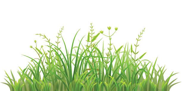 illustrations, cliparts, dessins animés et icônes de vert herbe fraîche - plante sauvage