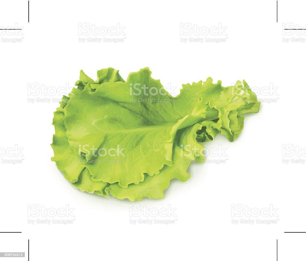 Fresh green leaf lettuce vector art illustration
