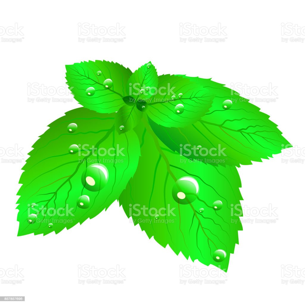 Fresh green mint leaves with dew drops. vector art illustration