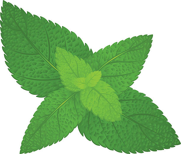 Fresh green mint Fresh green mint leaves in vector format. mint leaf culinary stock illustrations
