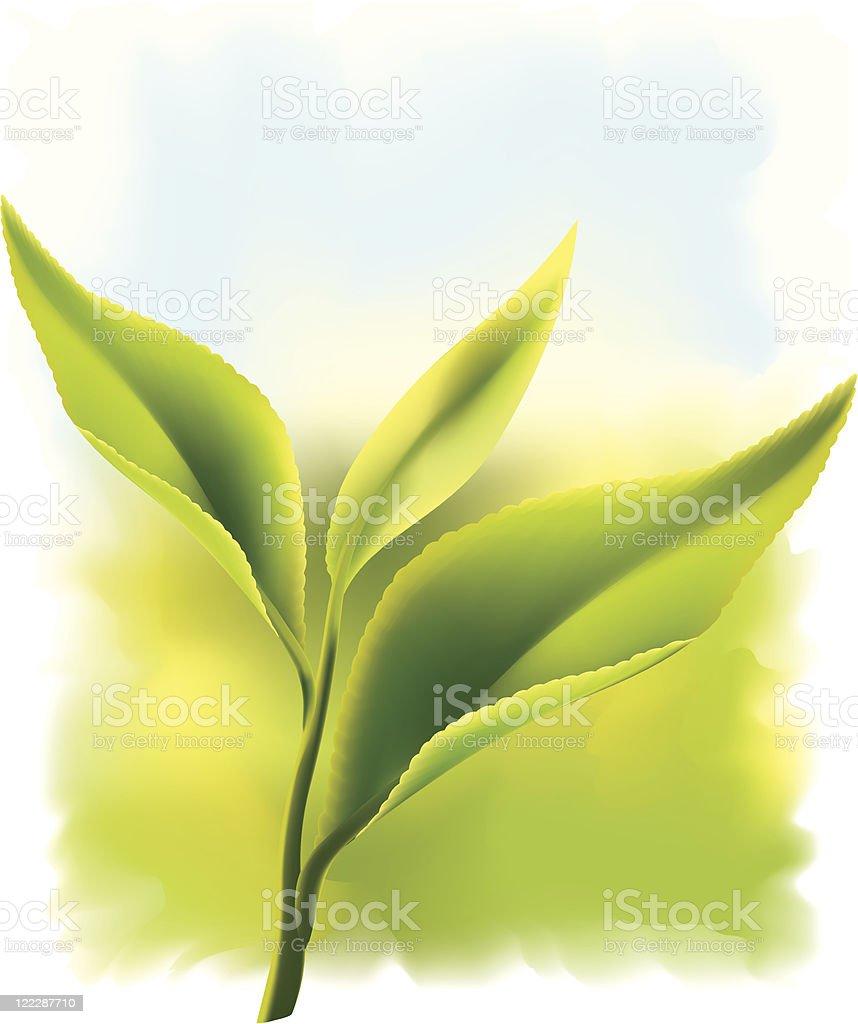 Fresh green tea leaves. royalty-free stock vector art