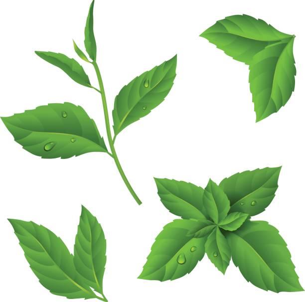 露の滴で小枝新鮮な緑茶とミントの葉します。孤立した背景に植物のベクトル イラスト。Eps 10 ベクターアートイラスト