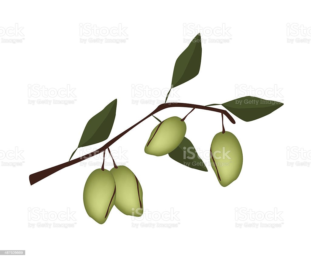 Fresh Green Unripe Almonds on A Branch royalty-free stock vector art