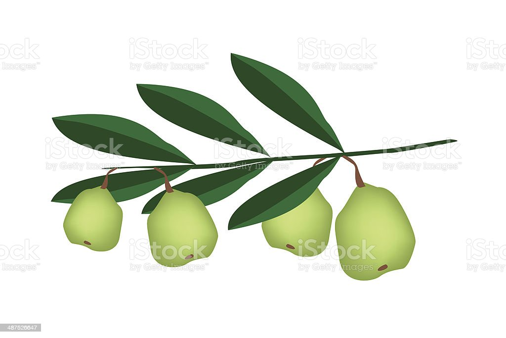 Fresh Green Unripe Walnuts on A Branch royalty-free stock vector art