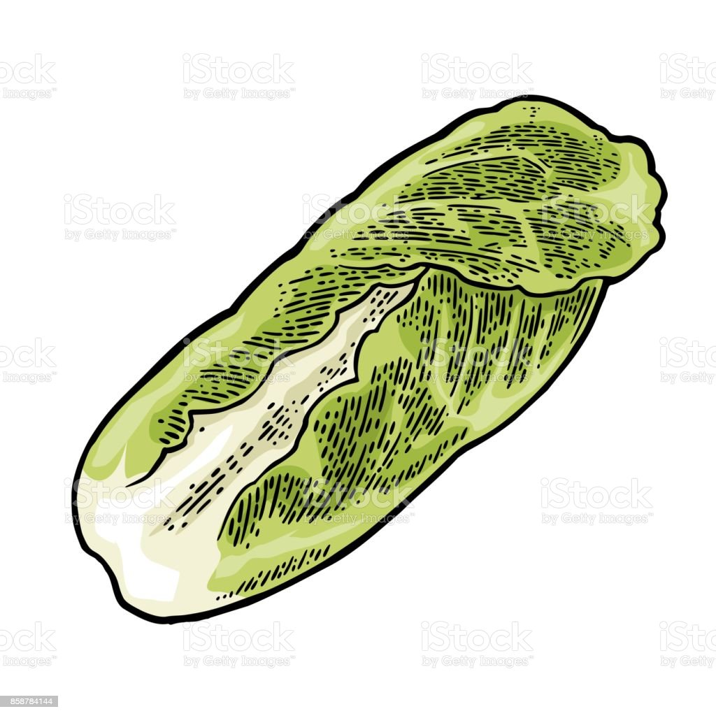 Fresh head of napa cabbage. Vector black vintage engraving vector art illustration