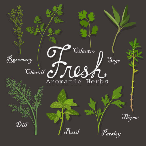 Fresh Herbs Vector illustration. This is a EPF 8 file. basil stock illustrations