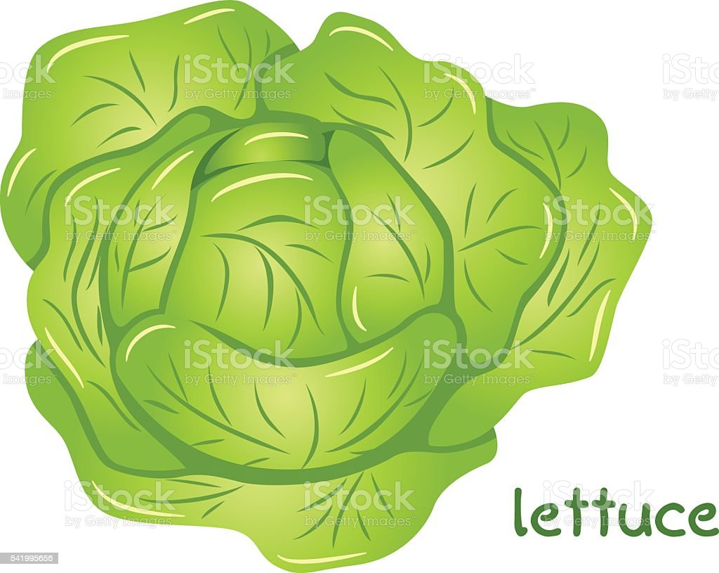fresh lettuce head vector art illustration