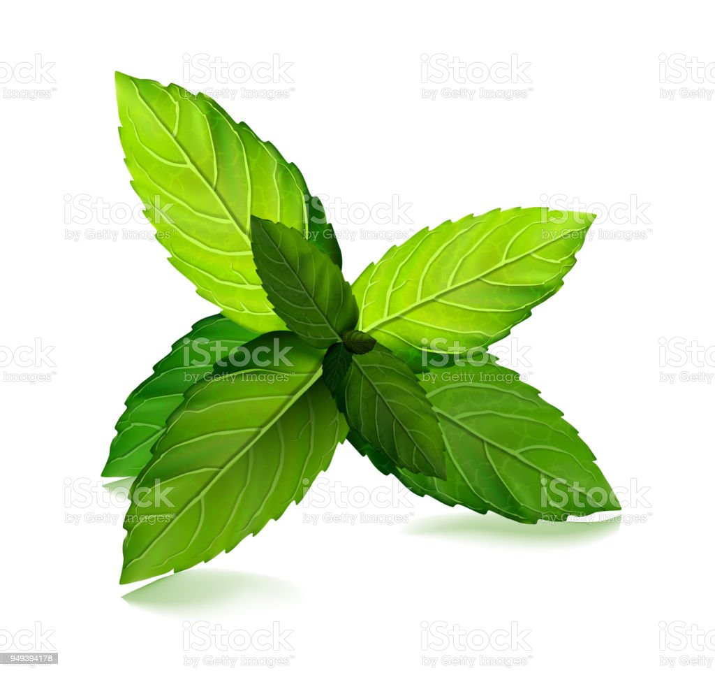 Fresh mint leaf. Vector menthol healthy aroma. Herbal nature plant. Spearmint green leafs vector art illustration