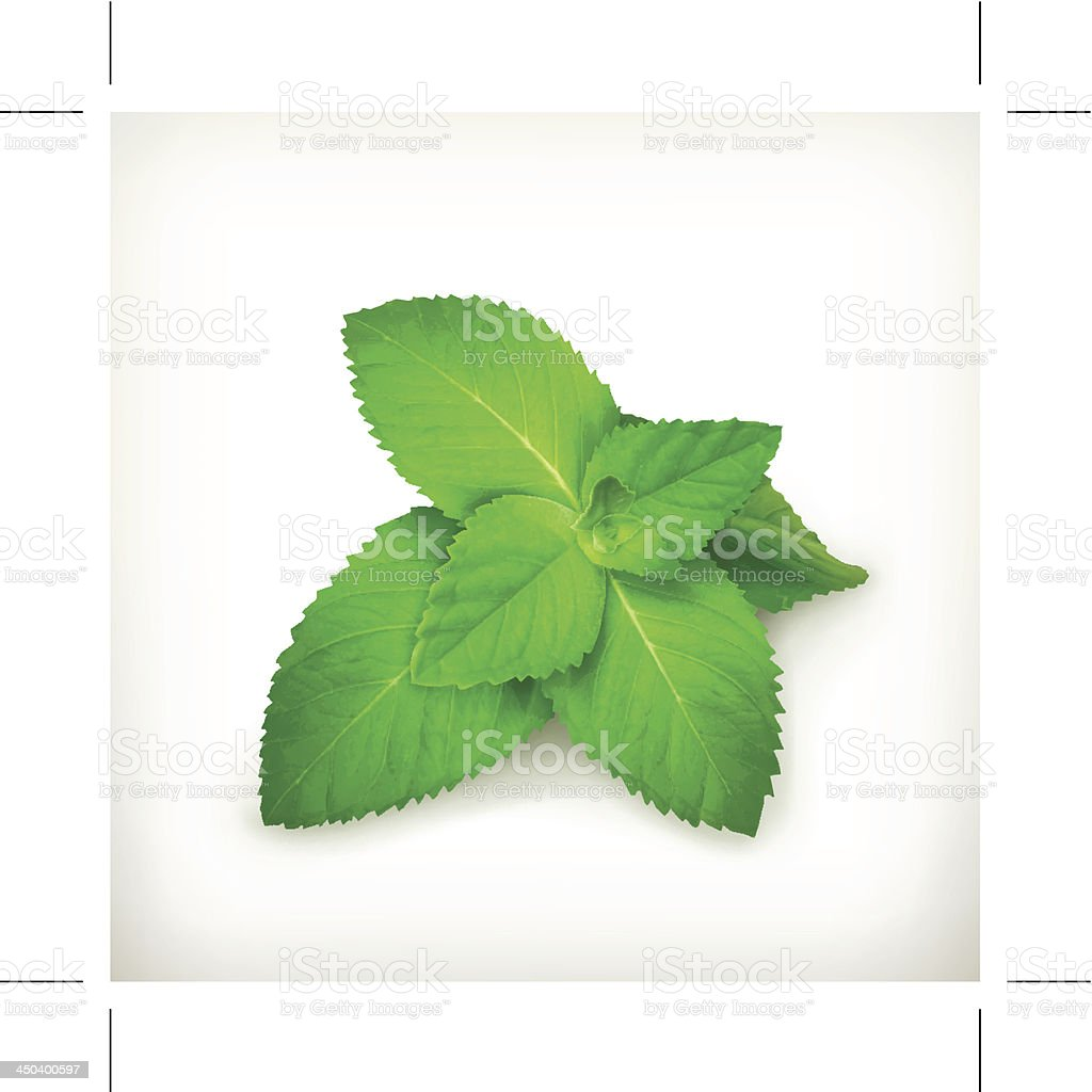 Fresh mint leaves isolated on a white background vector art illustration