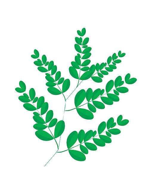 frische moringa-blätter auf weißem hintergrund - wunderbaum stock-grafiken, -clipart, -cartoons und -symbole