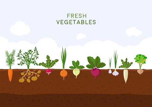 Fresh organic vegetable garden on blue sky background. Garden with different kind root veggies. Set vegetables plant growing underground: carrot, onion, potatoes, radish, daikon, beet, garlic, celery