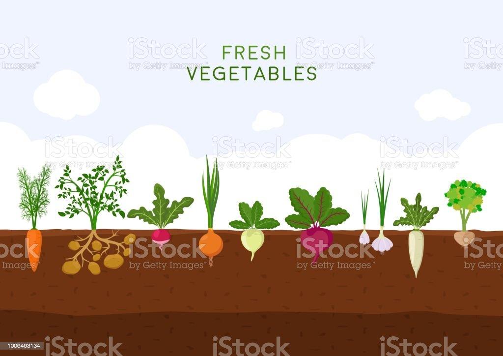 青い空を背景に新鮮な有機野菜の庭。別の種類のルートの野菜と庭園があります。地下鉄に成長する野菜植物を設定: ニンジン、タマネギ、ジャガイモ、大根、大根、ビート、ニンニク、セ� ベクターアートイラスト
