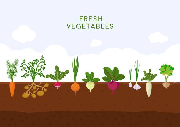 illustrazioni stock, clip art, cartoni animati e icone di tendenza di fresh organic vegetable garden on blue sky background. garden with different kind root veggies. set vegetables plant growing underground: carrot, onion, potatoes, radish, daikon, beet, garlic, celery - daimon