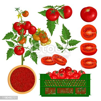 Set of fresh red tomatoes. Branch, bush, leaf, whole, half, slice and in crate. Organic food. Vector illustration isolated on white background