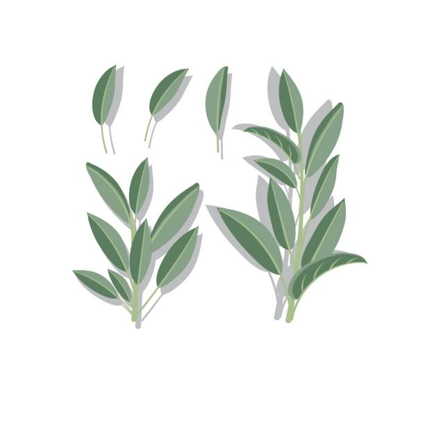 fresh sage on white background. - sage stock illustrations, clip art, cartoons, & icons