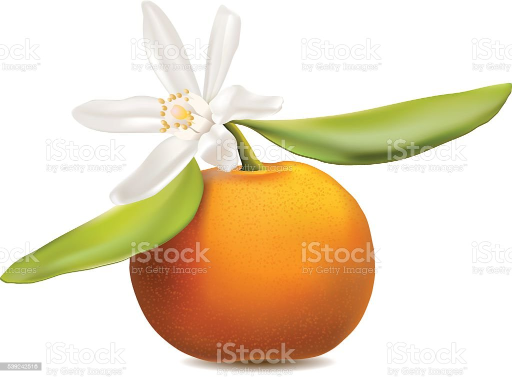 Fresh tangerine fruit with green leaves and flower. ilustración de fresh tangerine fruit with green leaves and flower y más banco de imágenes de alimento libre de derechos