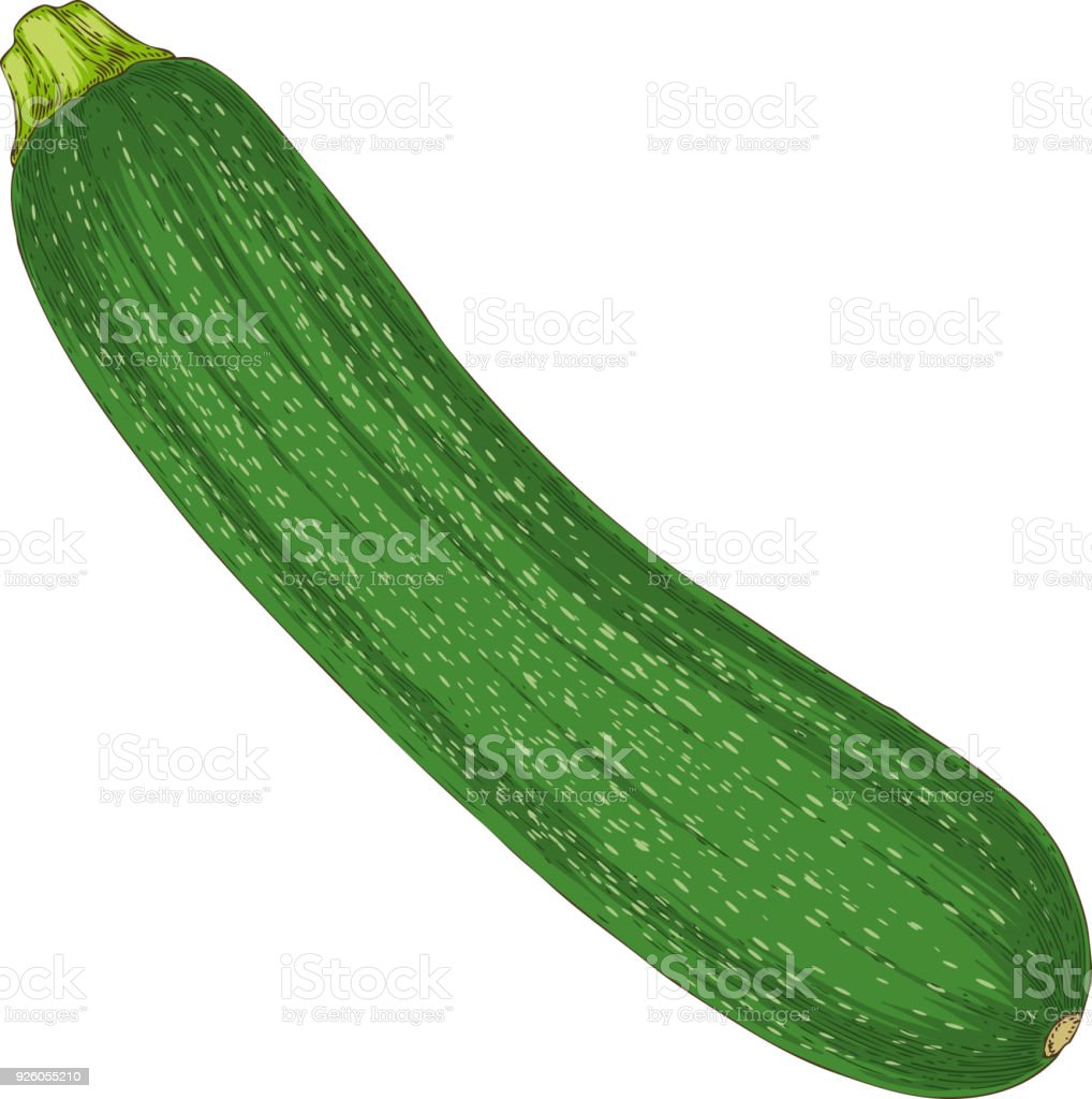 Fresh Zucchini or Courgette vector art illustration