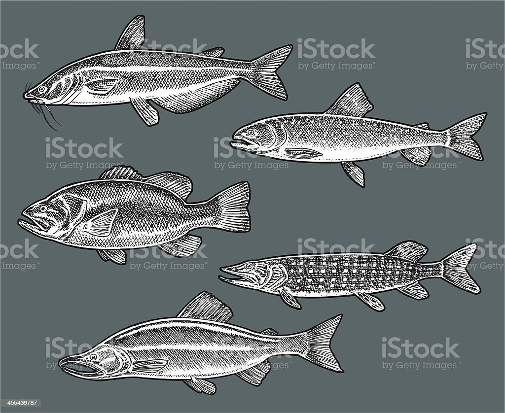 Freshwater Fish - Bass, Catfish, Trout, Salmon, Pike vector art illustration