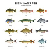Vector illustration of different types of fish, such as Largemouth Bass, Trout, Perch, Bluegill, Sturgeon, Drum, Walleye, Carp, Pike, Roach Fish and Catfish. Isolated on white.