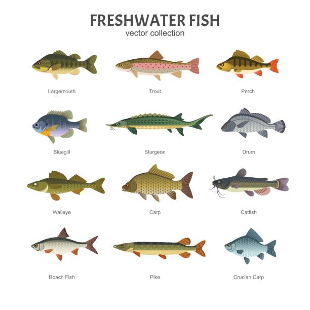 Freshwater fish set. Vector illustration of different types of fish, such as Largemouth Bass, Trout, Perch, Bluegill, Sturgeon, Drum, Walleye, Carp, Pike, Roach Fish and Catfish. Isolated on white. freshwater fish stock illustrations