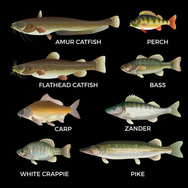 Freshwater fish species. Freshwater fish species. Pike, zander, perch, bass, carp, white crappie, catfish. Vector illustration isolated on white background. freshwater fish stock illustrations