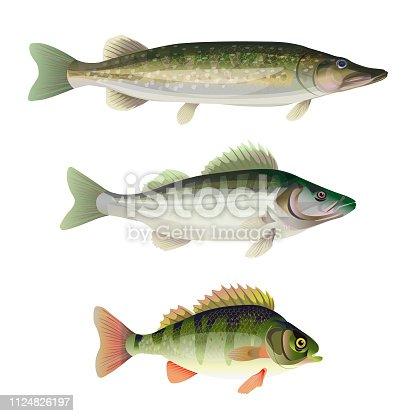 Set of freshwater predatory fish. Pike, zander, perch. Vector illustration isolated on white background