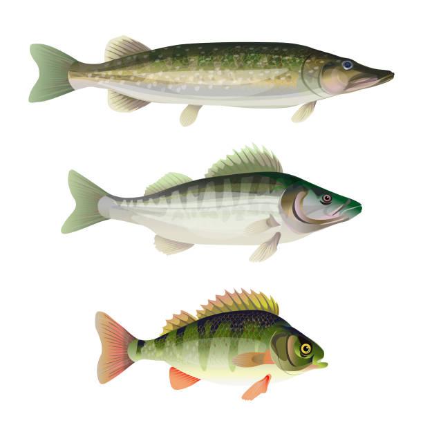 stockillustraties, clipart, cartoons en iconen met zoetwater roofvissen - wildplassen