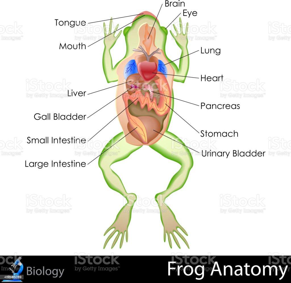 Ilustración de Rana Anatomía y más banco de imágenes de Anatomía ...