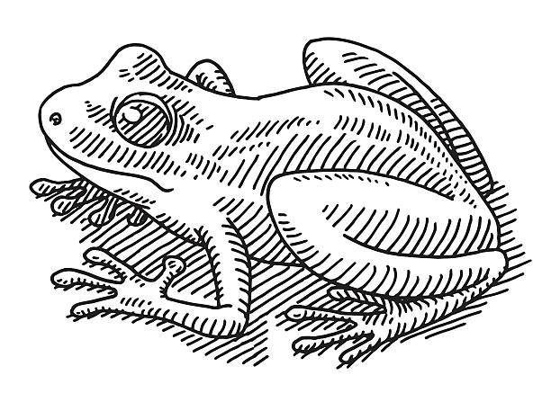 Frog Animal Drawing vector art illustration