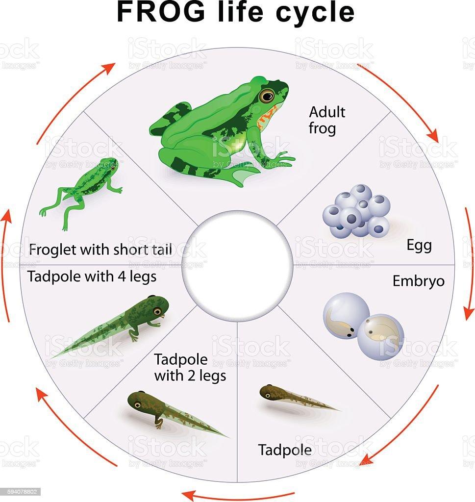 frog life cycle. Amphibian Metamorphosis. vektorkonstillustration