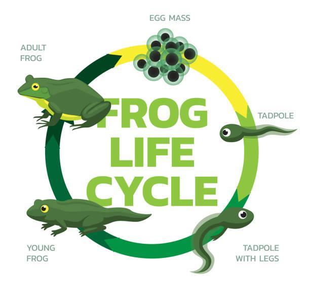 stockillustraties, clipart, cartoons en iconen met kikker leven cyclus cartoon cute vector illustratie set - larve