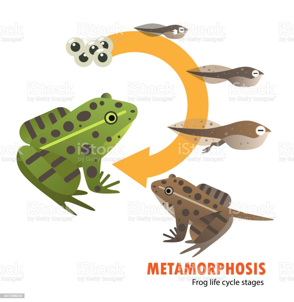 Ilustración de Metamorfosis De Ciclo De Vida De Rana y más banco de ...