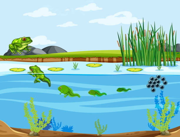 A frog life cycle A frog life cycle illustration pond stock illustrations