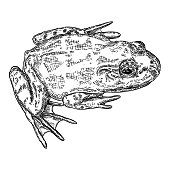 Frog line illustration.  Anuran or poison toad hand drawing. Black and white drawn witchcraft, voodoo magic attribute. Illustration for Halloween. Vector.