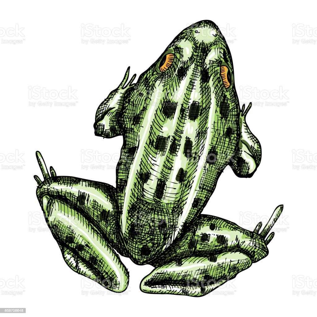 Frog Stylized Drawing Decorative Drawn Anuran Toad Color Drawing By ...