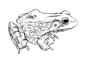 Frog Vector Illustration in Pen and Ink Isolated on White