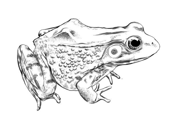 frog vector illustration in pen and ink isolated on white - amphibians stock illustrations