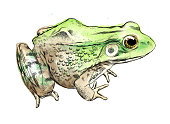 Frog Vector Illustration in Watercolor and Ink Isolated on White