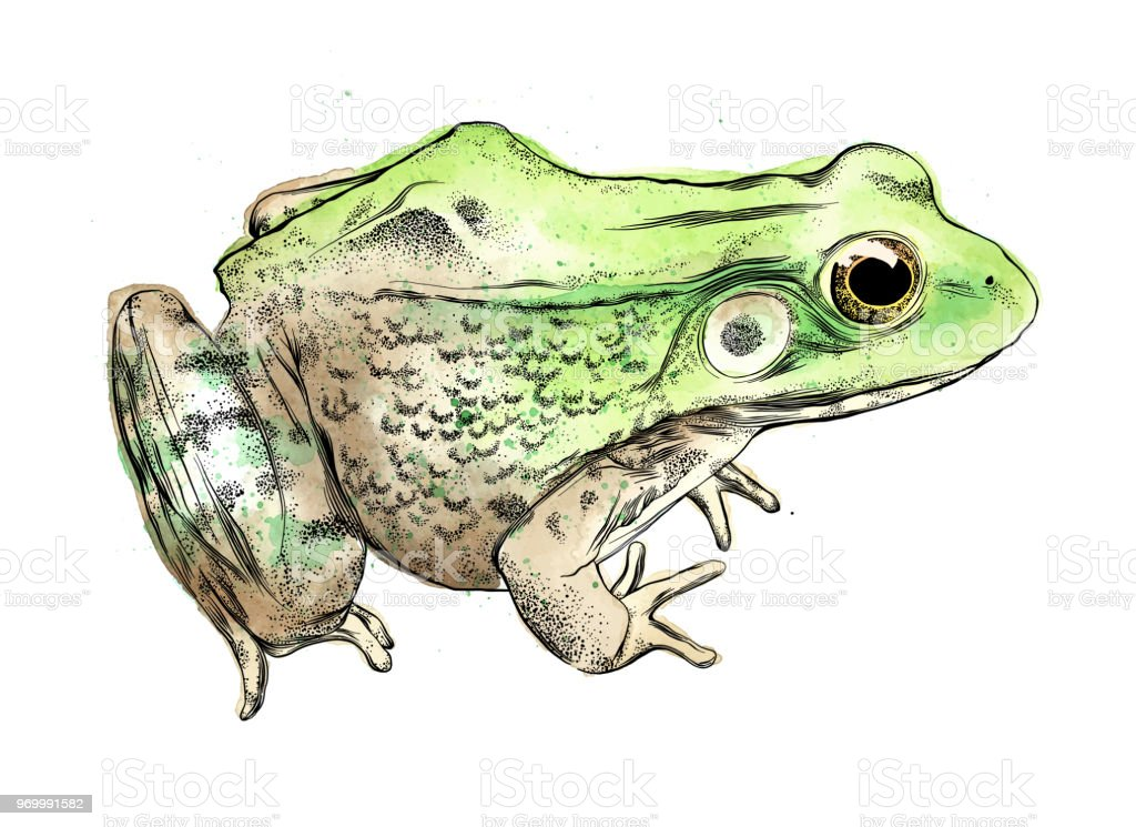 Frog Vector Illustration in Watercolor and Ink Isolated on White vector art illustration