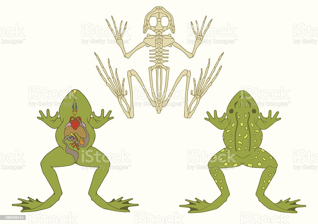 Ilustración de Rana Zoology Anatomía De Anfibio y más banco de ...