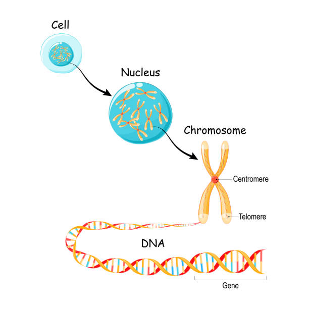 From Gene to DNA and Chromosome in cell structure. vector art illustration