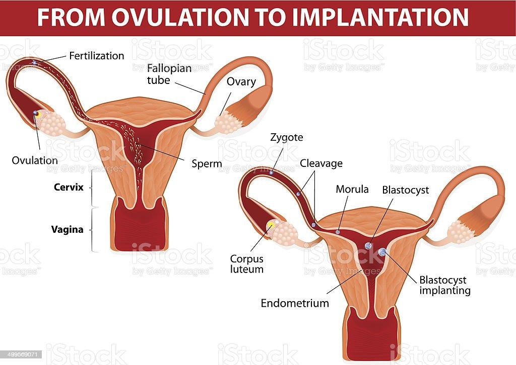 From ovulation to implantation vector art illustration